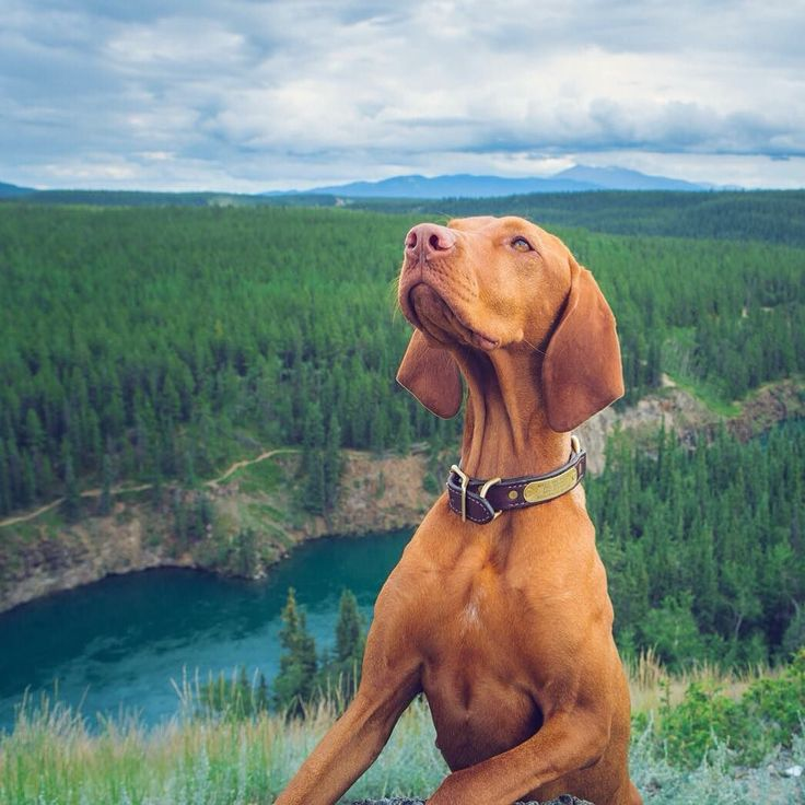 On the way out of Whitehorse we checked out Miles Canyon and took a stroll. Gold rush stampeders were challenged by the raging rapids below which are now dammed and calmer. #weeklyfluff #exploreyukon #vizslagram