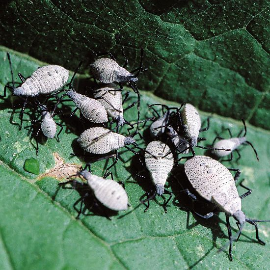 Stop these common garden pests now squash bugs and gardens - Identifying insect eggs in the garden ...