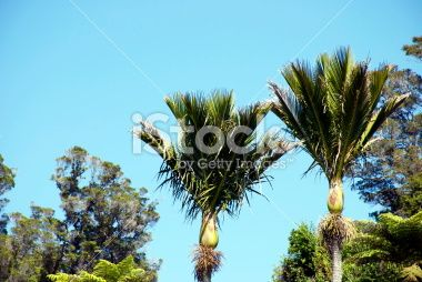 Nikau (Rhopalostylis sapida) Palms, New Zealand Royalty Free Stock Photo