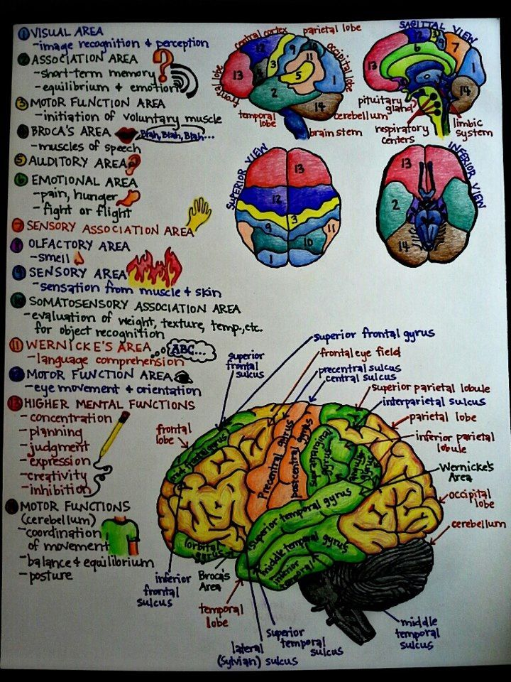 Notes on brain structure and function