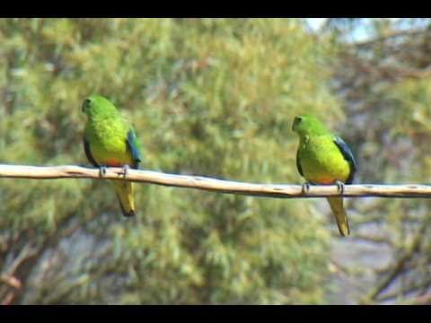 Critically endangered Orange-bellied Parrot