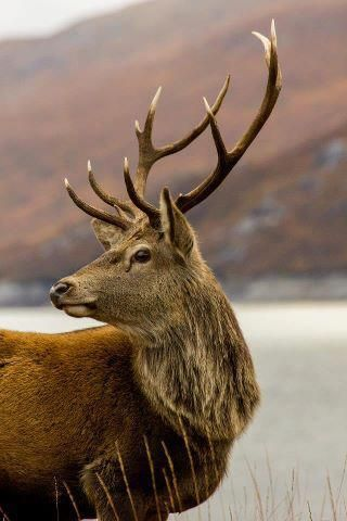 The Irish Deer. A Celtic Beauty of the Day - what a stunning photo..