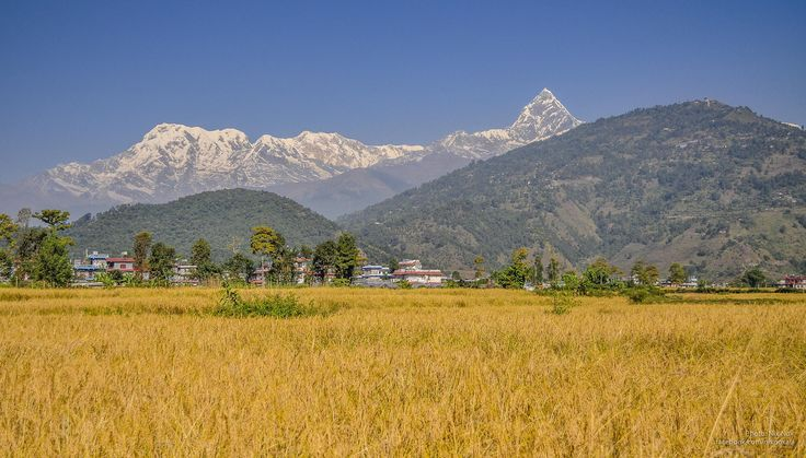Paddy field in Pokhara, Nepal, ready for harvest.