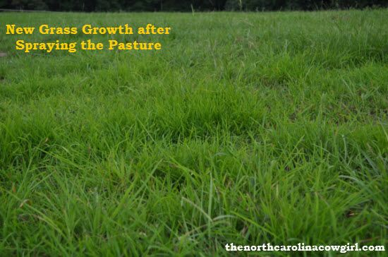 How to get your Horse Pasture Growing New Grass that looks this good. http://www.thenorthcarolinacowgirl.com/farm-improvements/horse-pasture-tips/ #horses #pasturetips #pasturemanagement