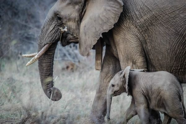 Elephants are being born without tusks -- here's why, and how we can help them.