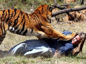 A tiger attacked a shepherd in Khadsangi buffer range of TATR (Tadoba Andhari Tiger Reserve) on August 25th, 2014. The tiger attacked a shepherd when he had taken cattle for grazing. While he was busy with his cattle, a tiger attacked him. The beast scratched shepherd's leg and shoulder, but he managed to escape.