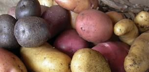 CLUB COMBO POTATOES- Heirloom Collection