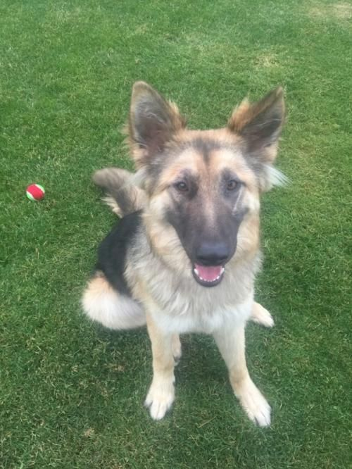 Meet Arrow, an adoptable German Shepherd Dog looking for a forever home. If you're looking for a new pet to adopt or want information on how to get involved with adoptable pets, Petfinder.com is a great resource.