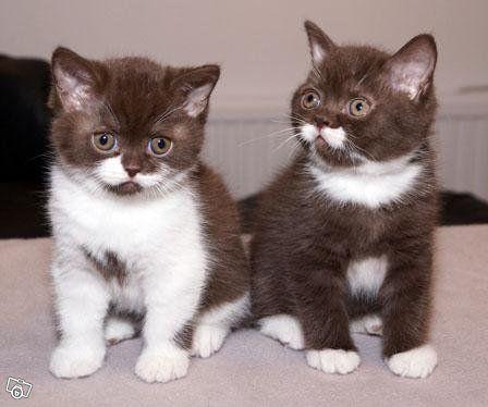 Brittish Shorthair Chocolate and White Kittens