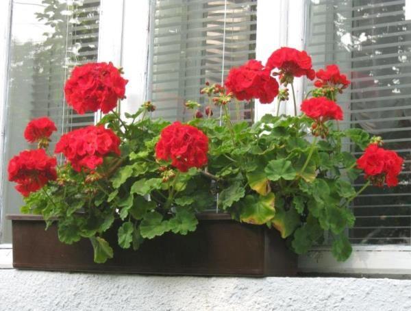 Пеларгонию, или, как все привыкли ее называть, герань, можно встретить практически в каждом доме. Это растение ценится за свою неприхотливость в уходе и в легкости размножения. Существует огромное количество видов пеларгонии. Иногда, чтобы придать цветку изысканность, хозяйки выращивают сразу неско
