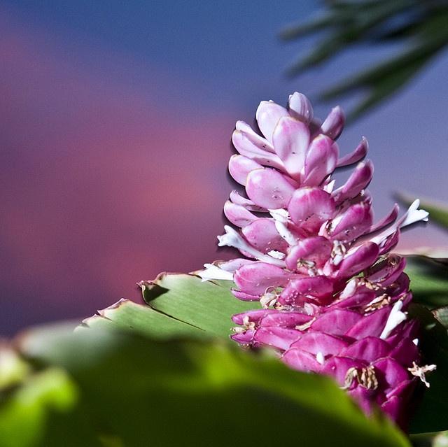 Ginger Flower by geekaleek, via Flickr