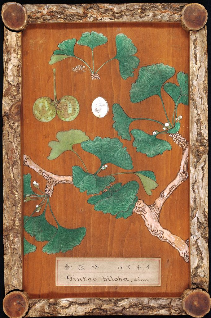 Ginkgo biloba (Image: Trustees of RBG Kew) | Flickr -26 wooden panels from Japan, each consisting of wood, branches and bark from a teee species, and painted with a representation of the leaves and flowers. Made in Tokyo, 1874. In the Economic Botany Collection at Kew.