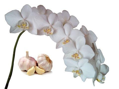 Поливаем Орхидеи чесночным настоем для цветения. Часть 1. Полив орхидей чесноком. Витамины - YouTube