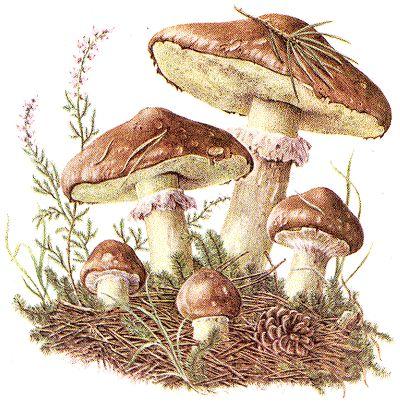 http://www.neckarkiesel.de/img/91-butterpilz-1-4.gif