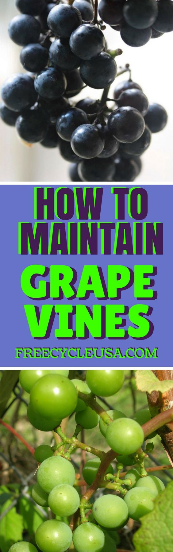 Learn How To Grow Grapes At Home.
