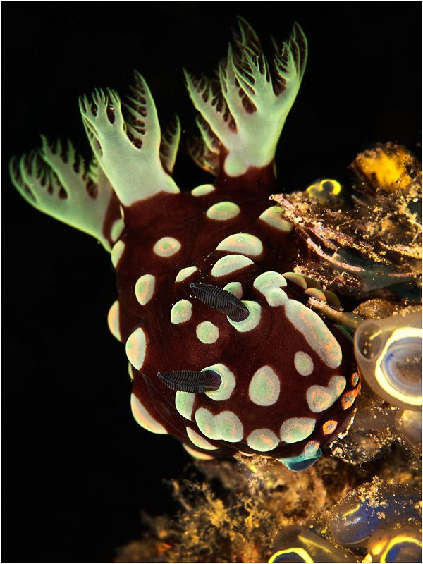 Nudibranch with Tunicates in the foreground.