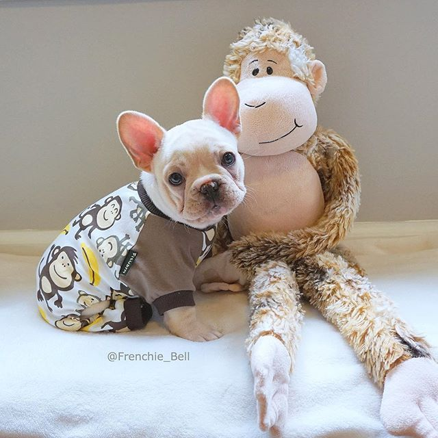 """Nighty Night, Mr. Romeo"", Bell the French Bulldog Puppy ✨ #sweetboy #baby…"