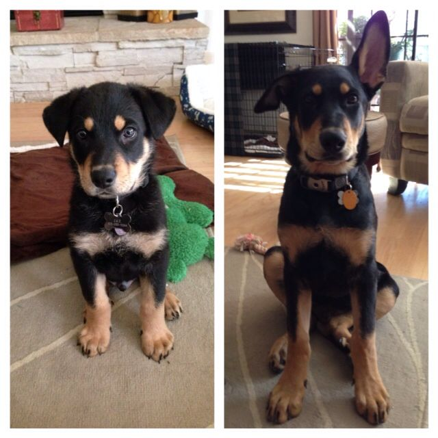 From 8 weeks to 4 months -Jax our  German shepherd doberman mix