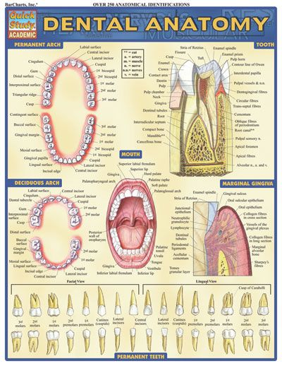 DENTAL ANATOMY Laminated Reference Guide $3.95  Loaded with beautifully illustrated diagrams clearly and concisely labeled for easy identification.  #Dental #Anatomy #DentalLabTech