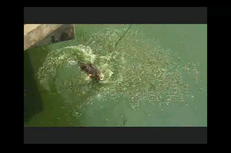 Тайланд. Кормление крокодилов. Смотреть до конца. Feeding the crocodiles...