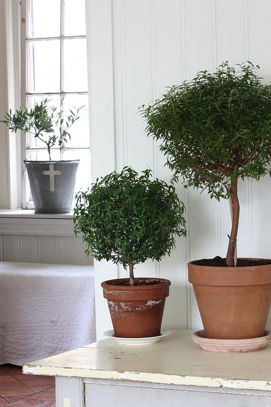 trees in a potGardens Galore, Cant Wait, Indoor Gardens, Uk Plants, You, House Flower, Indoor Trees,  Flowerpot, Farmhouse White