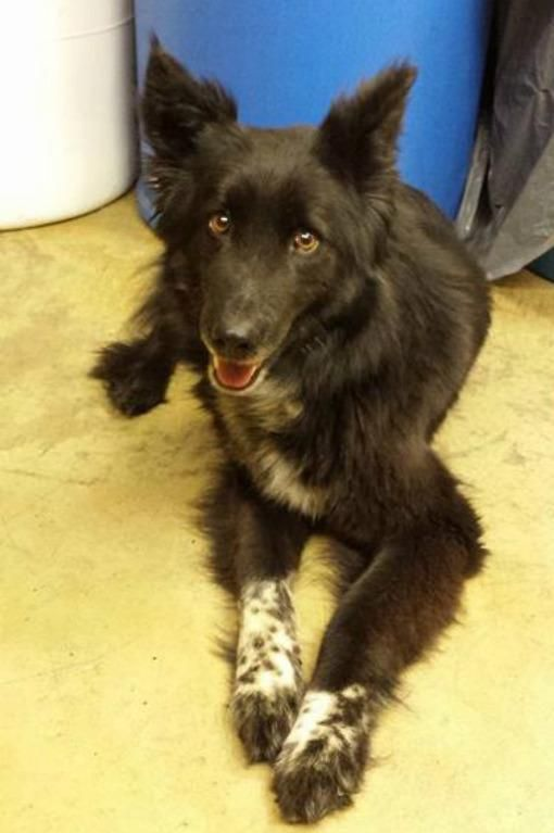 Pandora - located at Richland County Dog Warden in Mansfield, Ohio - Adult Female Border Collie/Shepherd mix