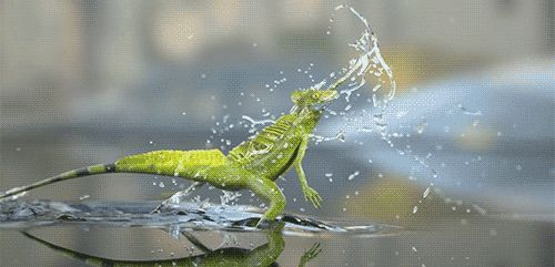 How the Jesus lizard walks on water.