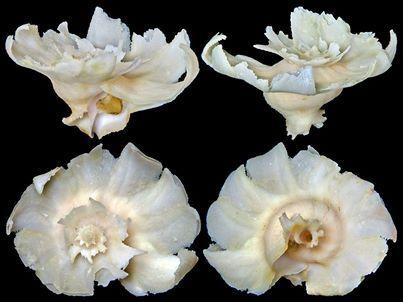 Chong Chen Babelomurex latipinnatus (Azuma, 1961) MURICIDAE Philippines