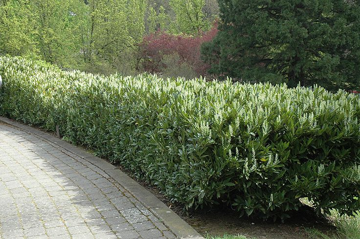 Click To View Full Size Photo Of Schipka Cherry Laurel