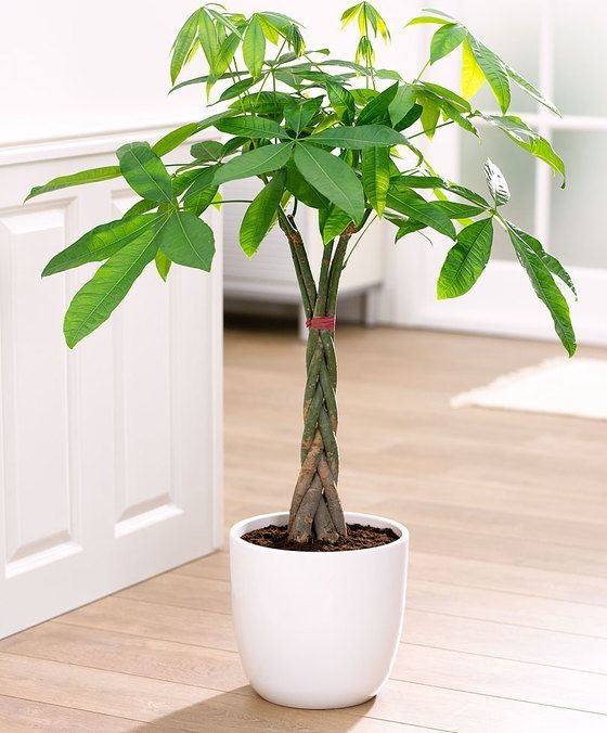 braided money tree plant care tips picture pachira aquatica