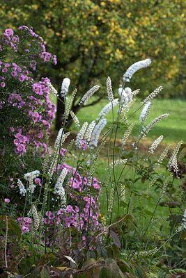 Actea (Bugbane) - dry shade