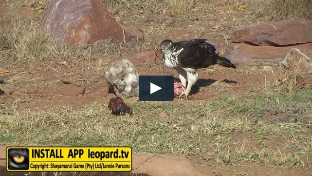 What is the main source of food for the hawk-eagle? Find out! #leopardtv #birds