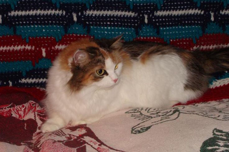Siberian Cats For Sale - Cats