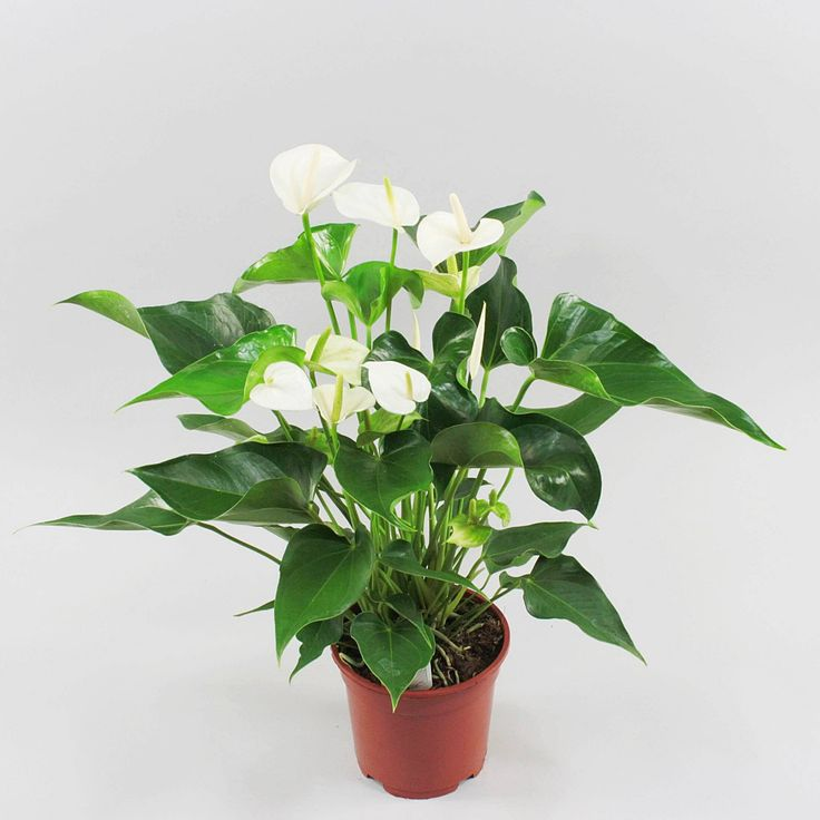 Anthurium andr. White Explosion Ø17cm