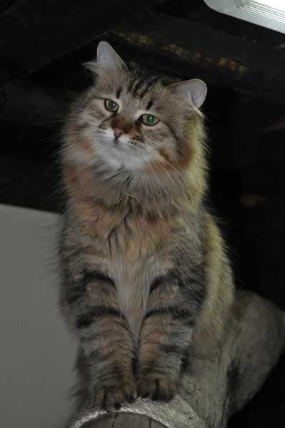 siberian cat...looks like Maine Coon cat...