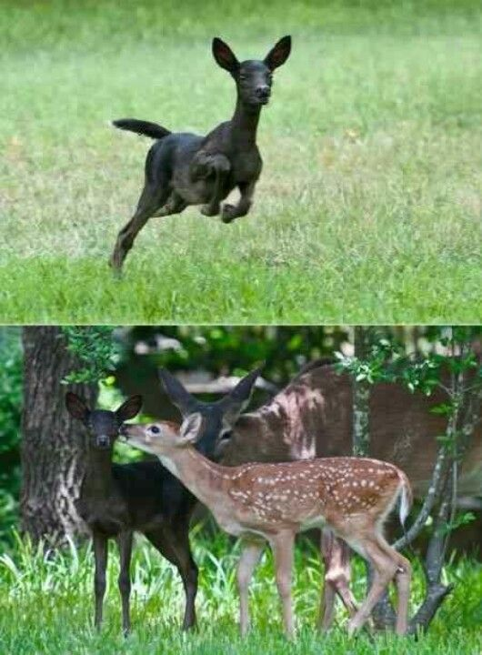 Melanistic Fawn (not the photo itself, but the idea of a dark deer or dark coloured deer)