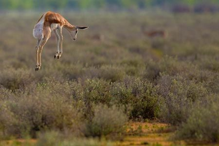 springbok gazelle - Google Search