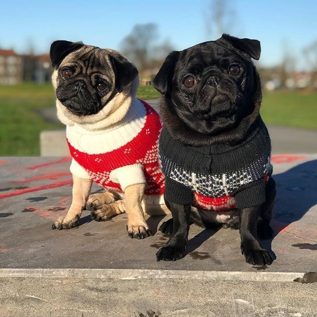 When Your Friend Shows Up Wearing The Same Outfit Baby Pugs