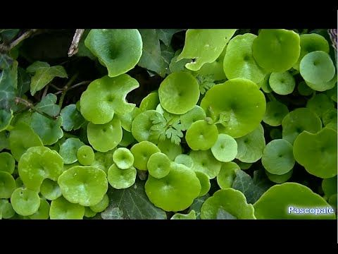 Plante sauvage comestible le Nombril de Venus plante médicinale et bonne dans les salades Ma page Facebook cliquez sur le lien https://www.facebook.com/pages...