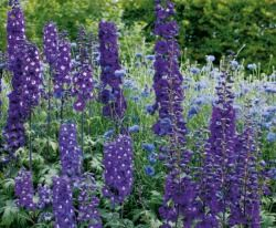 Caring for delphiniums