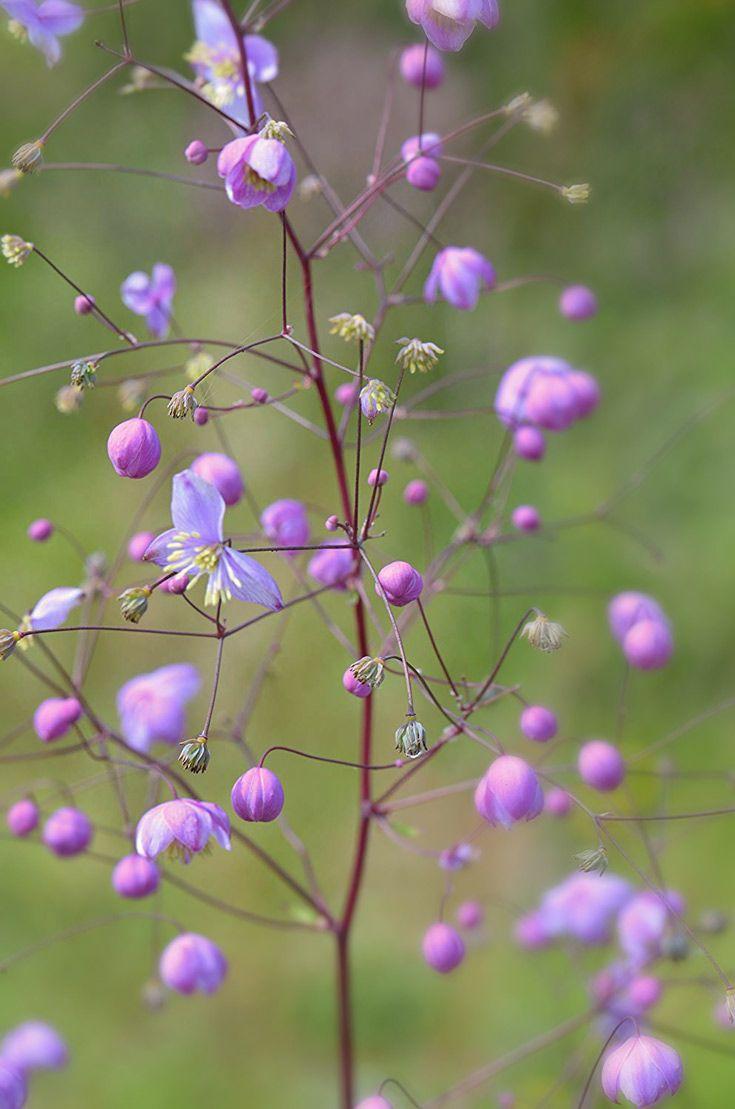 Meadow Rue Thalictrum Splendide Flowers June September
