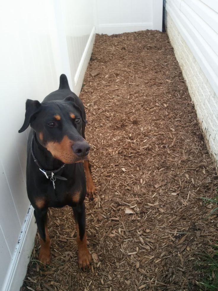 Save your lawn from dog feces and urination! Potty Area How To   Canine Training Center...I WISH!!!