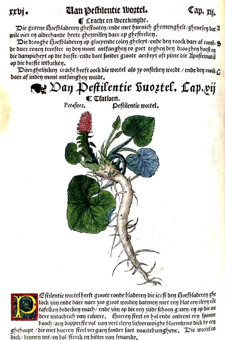 Petasitis / Groot hoefblad
