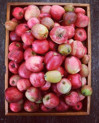 Autumn apples ....🍏 an apple a day ... #apples #autumn #gardenlife #preservefoodie #homiesfinest #foodinspiration #foodshare #pickthem #ananasæbler #lifeisgood #foodism #foodilicius #ateriet #cheflife #foodstyling #foodblog #naturerules #eatme #foodiegram #foodies #foodforlife #foodgraphy #foodgram #photography