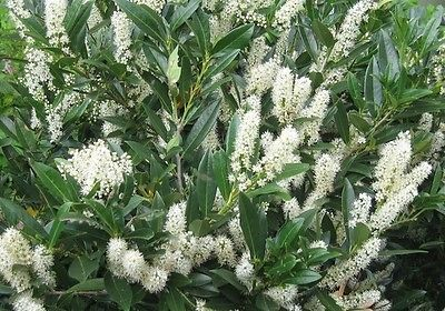 1 Schip Laurel Plant(Prunus Laurocerasus 'Schipkaensis')