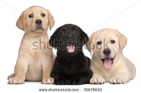 Three Labrador puppies, 7 weeks old, in front of white background by Eric Isselee, via Shutterstock