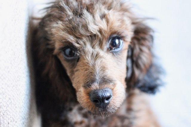 Mocha The Cafe Au Lait Miniature Poodle Miniature Poodle