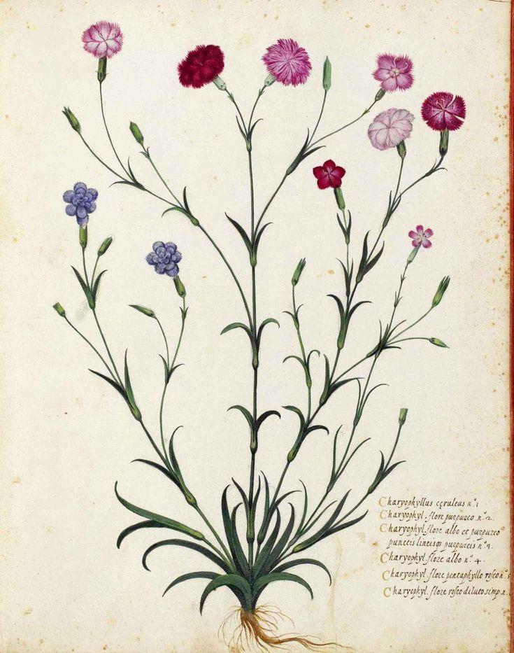flowers draw botanical - Buscar con Google