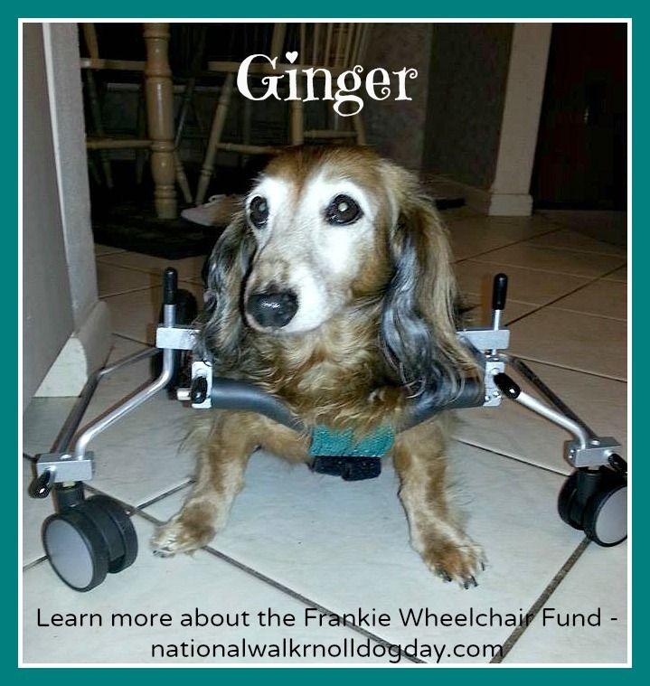 Meet Ginger 19th Recipient Of The Frankie Wheelchair Fund Http Joyfulpaws