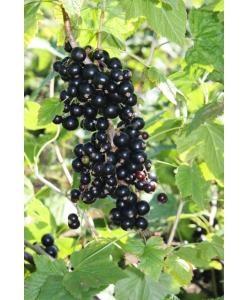 Bank Holiday Special - Blackcurrant Plant Ebony Variety Bare Root Cordon - £10.95
